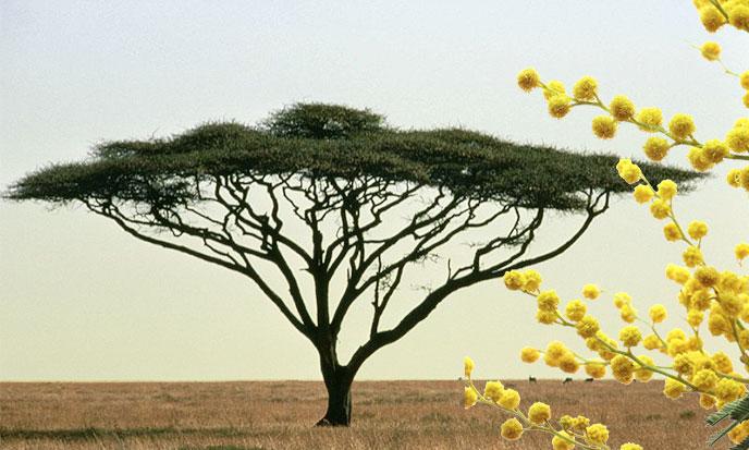 L'acacia du Nil