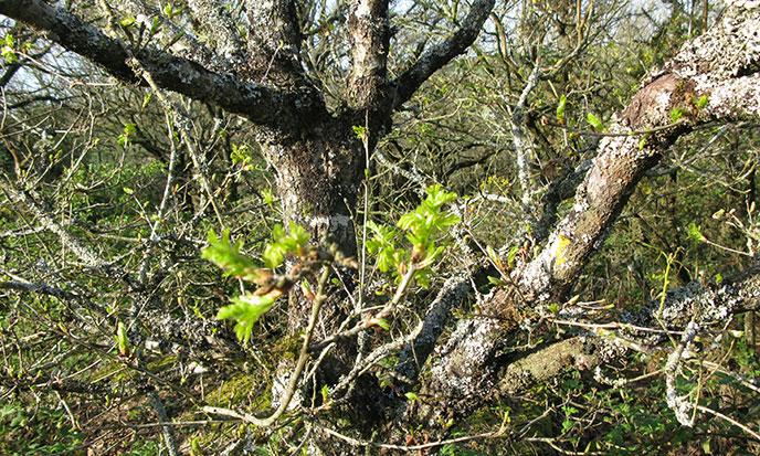 arbre-bourgeons-croquelien-15-avril-2015-688po