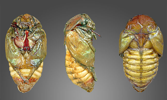 changement-pupa-chrysalide-cocon-688po