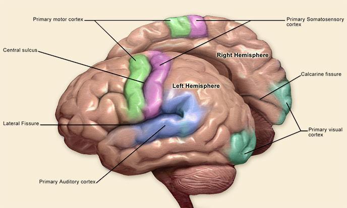 hemispheres-cerveau-sk-688po