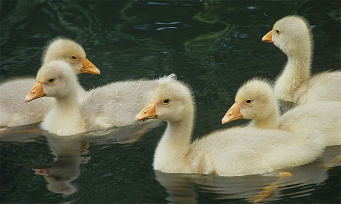 oisons-goslings-688po