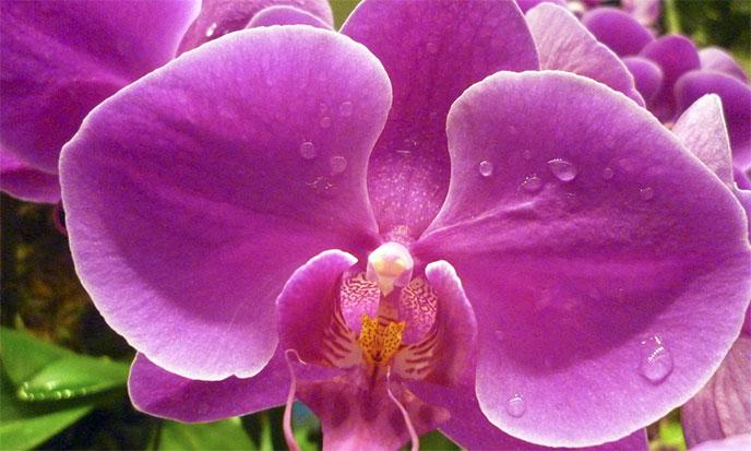 orchidee-de-singapour-688po
