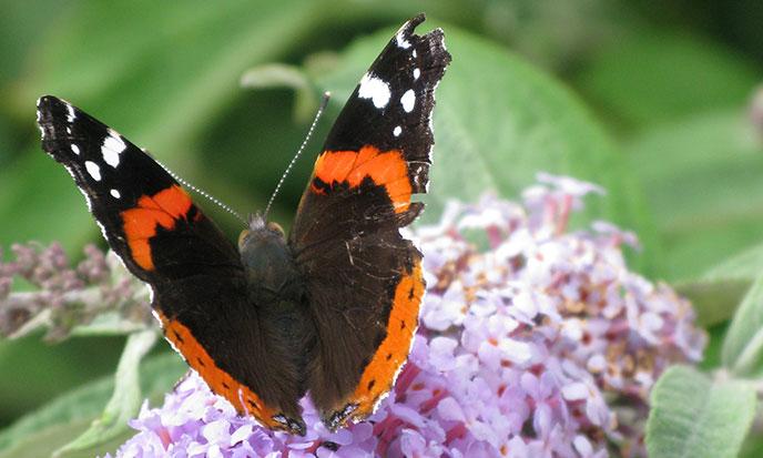 papillon-erquy-xs-688po