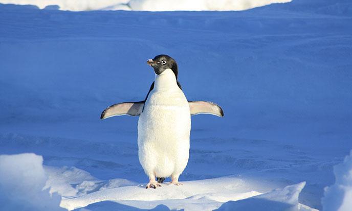 penguin-pixabay-688po
