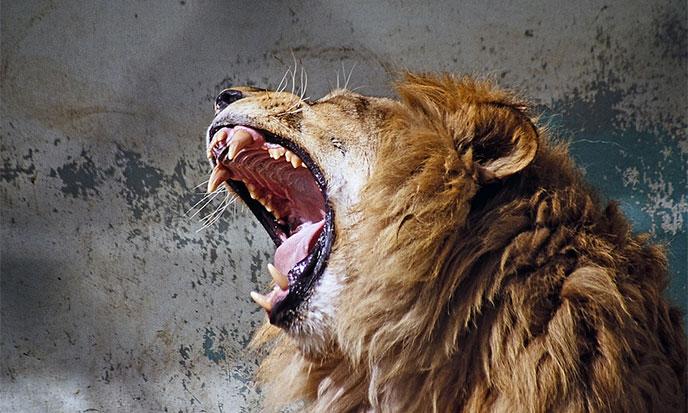 roi-du-monde-lion-688po