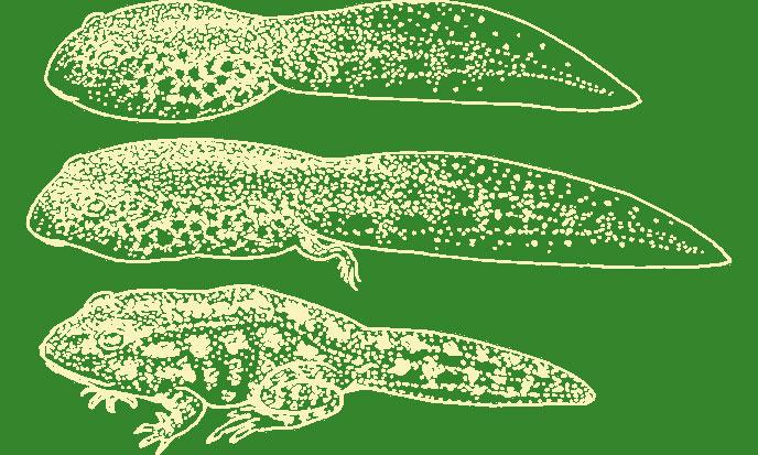 tetard-grenouille-pixabay-688po