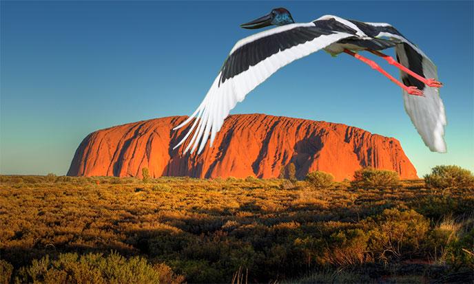 uluru-ayers-rock-oiseau-688po