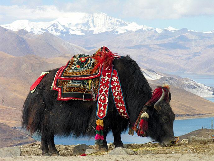 yack-tibet-688po